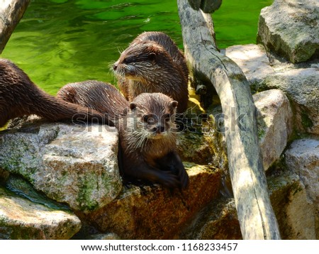 Three otters fresh out of the water, dripping wet with spiky-looking fur, one otter on the left only barely in the picture with his tail only