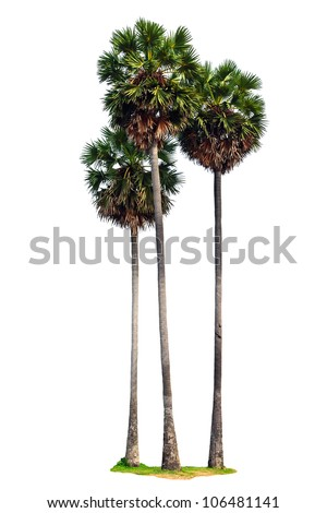 Three palm trees isolated on white background