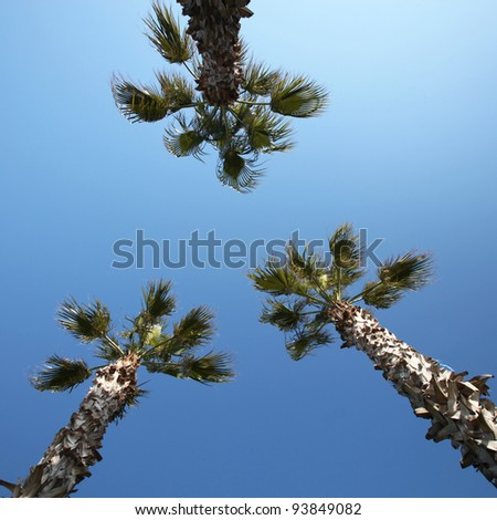 Three palms against blue sky