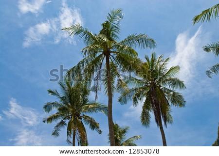 three palms against the sky, Phuket, Thailand