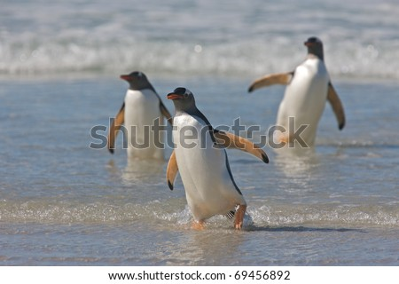 Three penguins walk through the incoming tide of a beach.