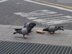 three pigeons eating bread