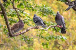 Three pigeons sitting on a tree branch on green background. Domestic pigeon bird and green blurred natural background. Grey dove bird.