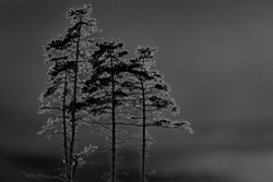 Three pine trees at midnight on the dark sky background