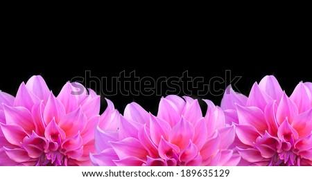 Three pink dahlia flower on a black background.