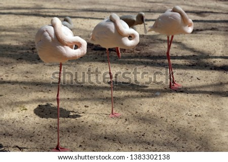 Three pink flamingos stands in a row with one foot in the sand at the zoo. flamingos hiding their beaks in their wings, the birds hide the beak from the cold