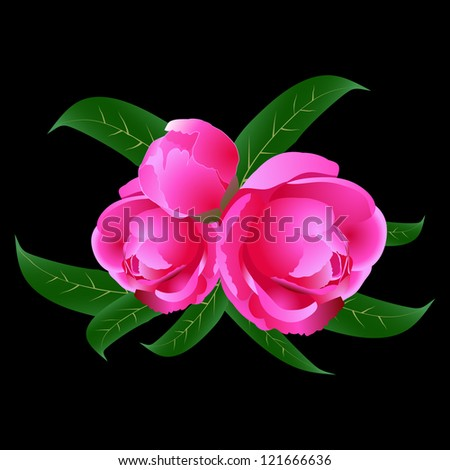 Three pink peony with leaves on a black background - stock photo