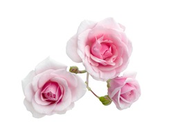Three pink roses with dew drops isolated on a white background