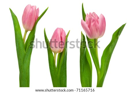 three pink tulips on a white background