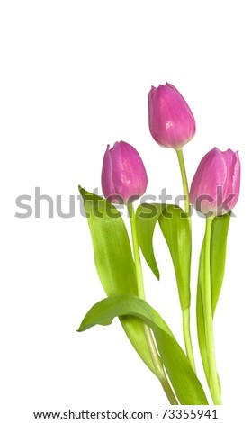 three pink tulips on a white background See my portfolio for more