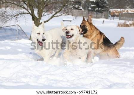 Three playing dogs in winter