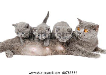 Three playing little British short-hair kittens and mother cat isolated