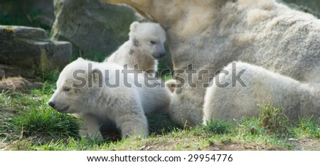 Three polar bears - mother and two kids