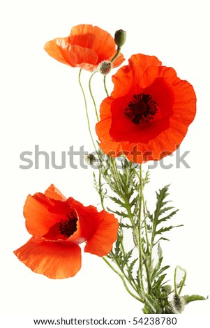 Three poppies against white background