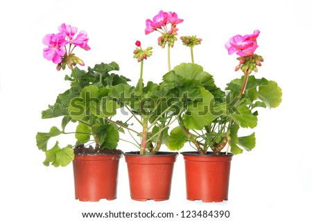three pot with pink geraniums isolated on a white background