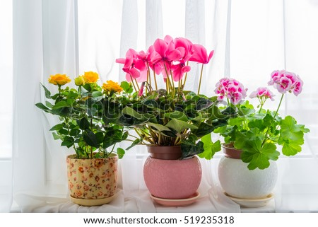 Three potted flower stand on windowsill in curtains background #519235318