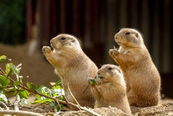 Three prairie dogs sit and nibble the leaves from twigs