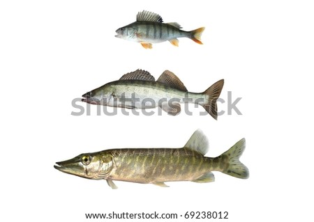 three predatory fish on white background