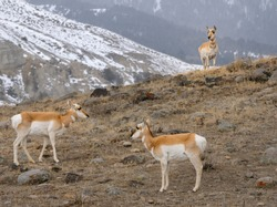Three Pronghorn Antelope on a rocky ridge in winter at Old Yellowstone Trail South Gardiner Montana