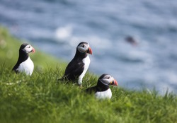 Three puffin birds with orange peckers and black and white bodies looking to the right while sitting on green grass with the blue ocean as blurry background on the island Mykines on the Faroe Islands
