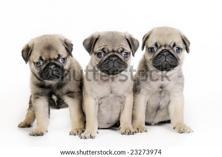 Three pug puppies (5 weeks), isolated.
