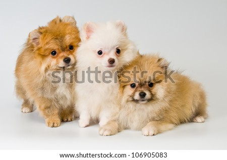 Three puppies of breed a Pomeranian spitz-dog in studio on a neutral background