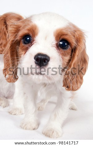 Three puppies of Cavalier King Charles spaniel looking for something