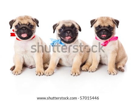 Three puppies of pug. Isolated on white
