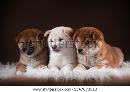 three puppies of the Shiba inu is two red and one cream and white dog lying on a white fur on a brown background