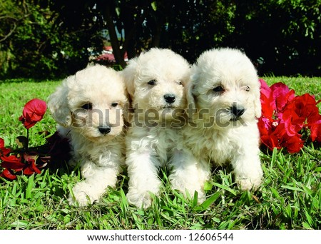 Poodle Puppies on Three Purebreed French Poodle Puppies Stock Photo 12606544