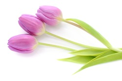 Three purple tulips isolated on white background