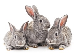 Three rabbits isolated on a white background.