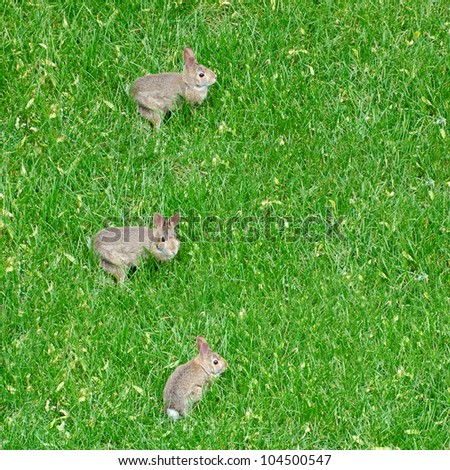 Three Rabbits on the Lawn