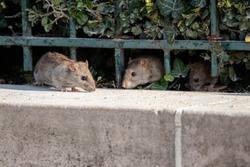 three rats in paris