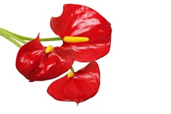 three red anthurium flowers isolated with text space