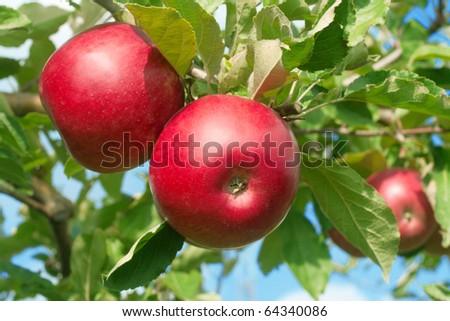 three red apple on tree