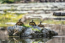 Three red-eared turtles sunning themselves on a rock in the middle of a pond.