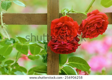 Three Red Roses On The Fence In Roses Garden