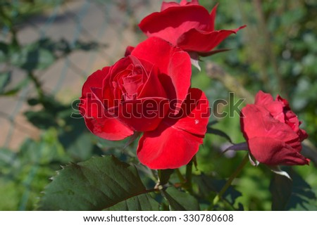 three red roses with one in focus #330780608