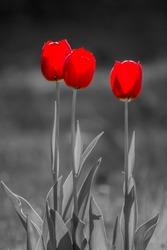Three Red Tulips, tulipa on black and white background