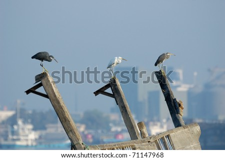 Three Reef Egrets on modern city background/A lot of egrets and herons find their comfortable environment at the Gulf cities ports.