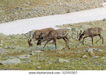 Three reindeers grazing in tundra eating lichen