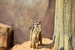 three restless meerkats on yellow sand hill near tree and stone, very cautious, looking for dangerous