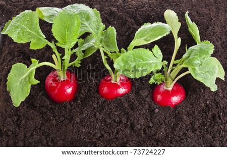 three ripe radish growing on soil top view background