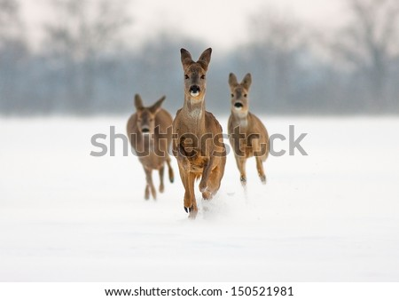 Stock Photo Three roe deer (capreolus capreolus) does running forward in high snow.
