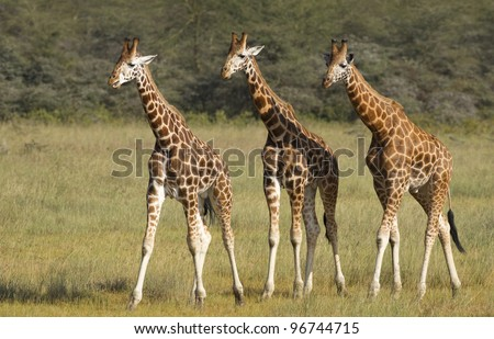 Three Rothschild Giraffe (Giraffa camelopardalis rothschildi) at Lake Nakuru in Kenya