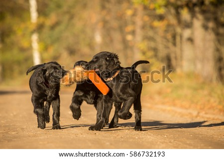 Three running black flat coated retriever puppies with toy in Autumn #586732193