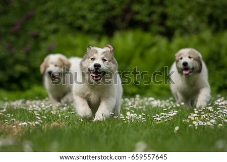 Three running Great Pyrenees puppies Stock photo ©