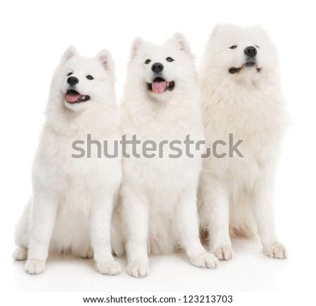 three samoyed dogs on white background