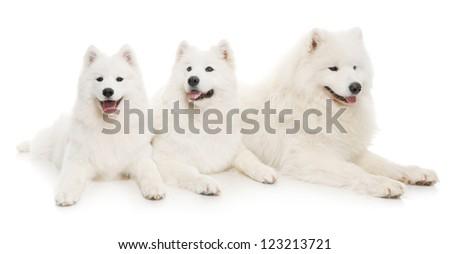 three samoyed dogs on white background